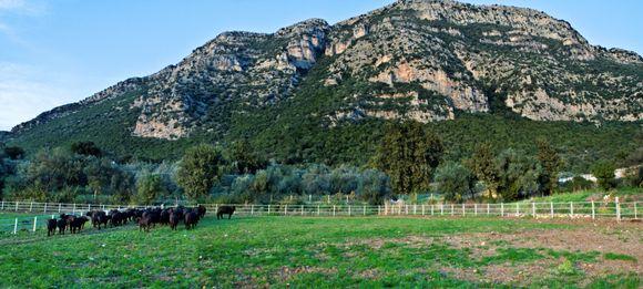 Bøflene bidrar med råvare til både ost og gjødsel.