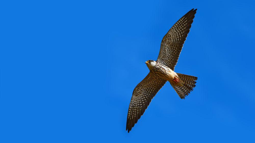 Falken kan endre på fjærene og vingeformen for å tilpasse seg ulike vindforhold. Danske forskere lar seg inspirere og vil utvikle monterbare vingetupper til vindturbiner.