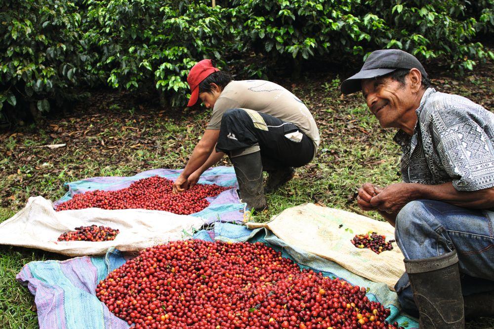 Kaffen fra Finca Nacimiento i Honduras er en av farmene som Tim Wendelboe involverer seg dypt i.
