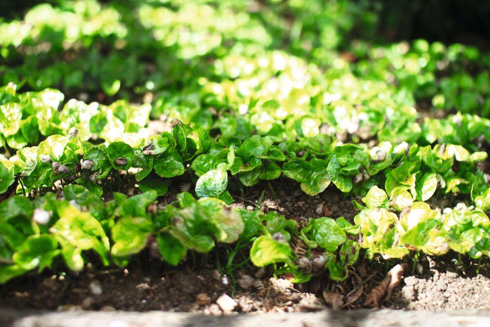 Nyplanting av kaffetrær hos Nacimiento i Honduras.