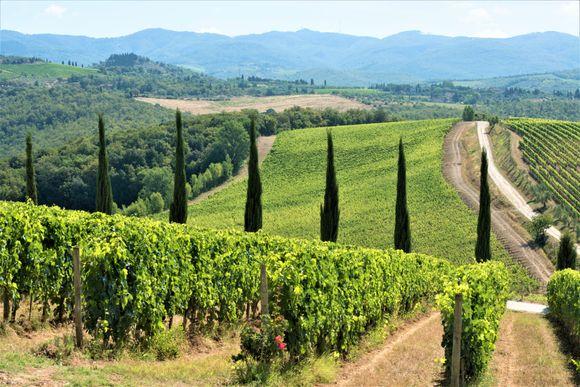 Dievole har 55 hektar med vinmarker i produksjon. Eiendommen teller til sammen 400 hektar og resten er for det meste oliventrær og skog.