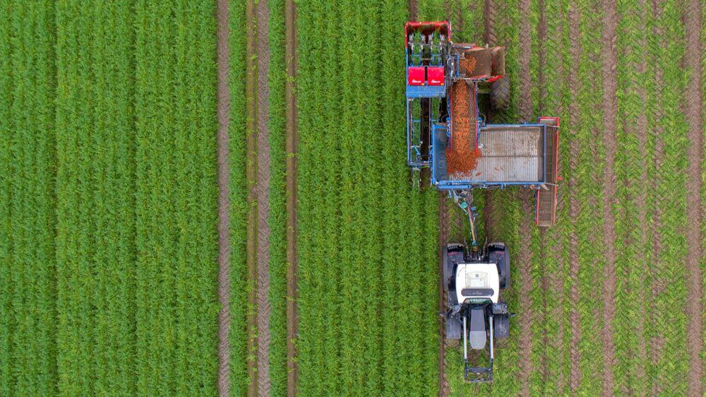 Ny teknologi gjør at avstanden mellom økologisk og konvensjonell grønnsaksdyrking blir mindre. Her fra gulrotinnhøsting på et av Bent Ingar Fuglus jorder i Levanger.