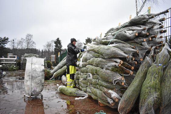 INNI GRANSKAUEN: Sist onsdag mottok de 700 trær, og det er første av av flere leveranser. Kristoffer Neset stod for den tunge jobben med å pakke ut trærne i regnværet.