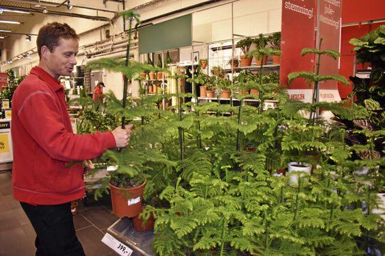 SØTE SMÅ: Disse små potte-granene funker perfekt til hybelen eller de minste leilighetene! Det er faktisk en slik ansvarlig gartner ved Plantasjen Sofiemyr, Christoffer Ladstein har selv.