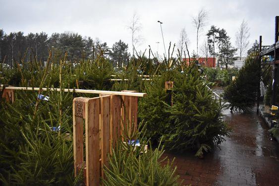 PLANTASJE: Ingen snø, men mange juletrær.