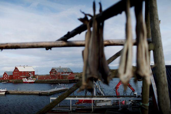 Fra Røst eksporteres det fisk for 600 millioner i året. (Foto: Aurora Hannisdal)