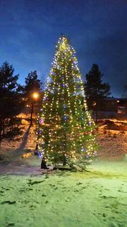 KORTREIST JULEGRAN: Kaupanger Speidargruppe var med og hogg den flotte julegrana oppom Hovland gard på Kaupanger.