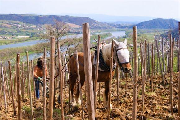 Vinmarkene ligger høyt i St Joseph med utsikt til elven.