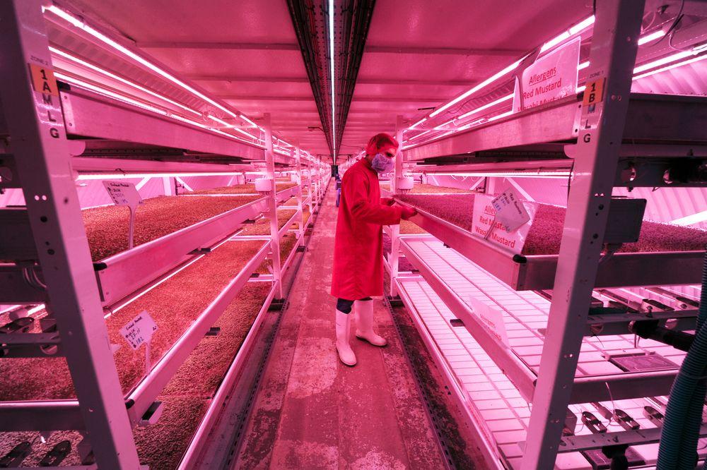 I tunneler under Clapham i London dyrker Growing Underground mikrogrønt. De har både Whole Foods og Marks & Spencer på kundelisten, og i høst vant de BBCs «Future Food Award».