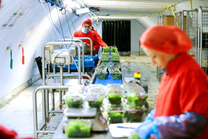 Growing Underground kan produsere rundt 2000 pakker med mikrogrønt om dagen.