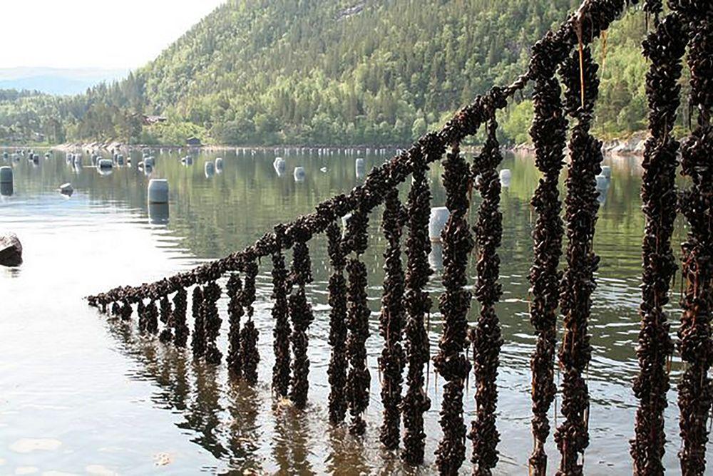 Delikatesse: Blåskjell er en voksende oppdrettsnæring, men Norge er knøttliten i forhold til resten av Europa.
