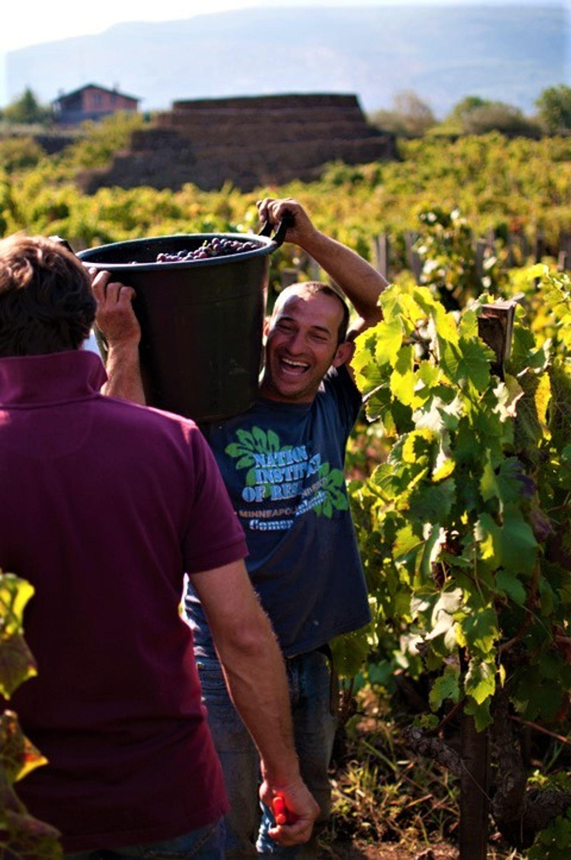 Innhøstning i vinmarkenCentenaria med mer enn 100 år gamle vinplanter.
