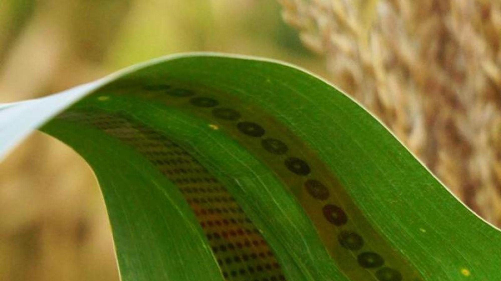 Forskerne kaller de små sensorene av grafén for plante-tatoveringer.