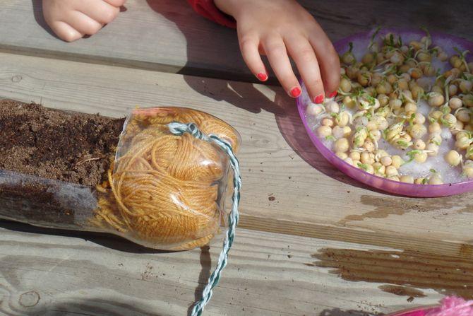 Først spiret ertene på tallerken med bomull i vinduskarmen, så ble de plantet over i jord i colaflaskene, opplyser Nina Mellem Wiig. Ideen til å dyrke ertespirer i gamle colaflasker fikk barnehagen fra fotodelingssiden Pinterest.