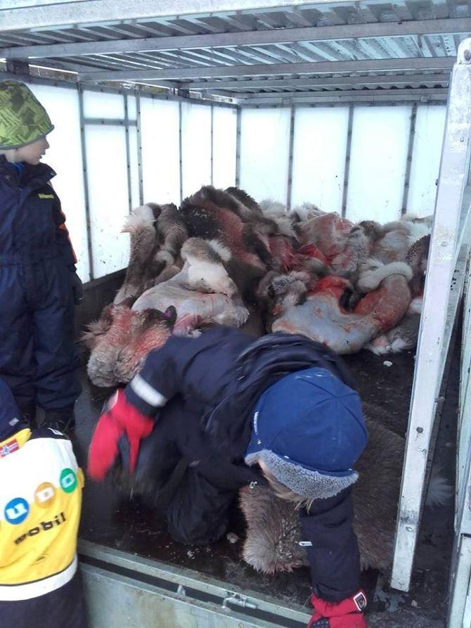 Ungene hjelper til med å få lastet alle reinskinnene.