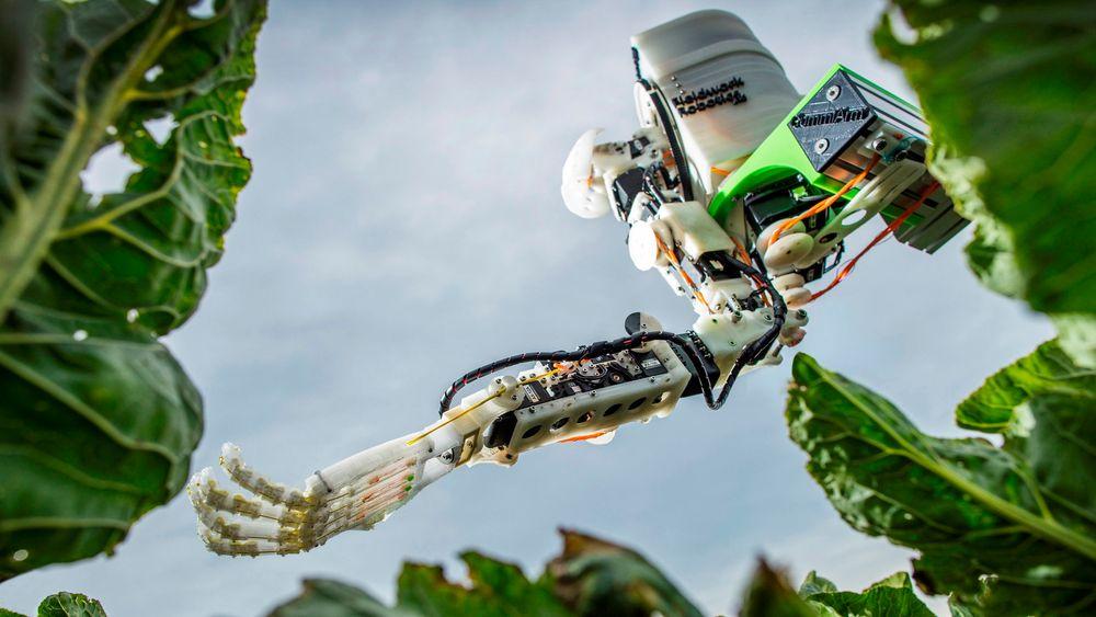 Den blomkål-plukkende roboten «GummiArm» er utviklet av forskere ved universitetet iPlymouth i Storbritannia.