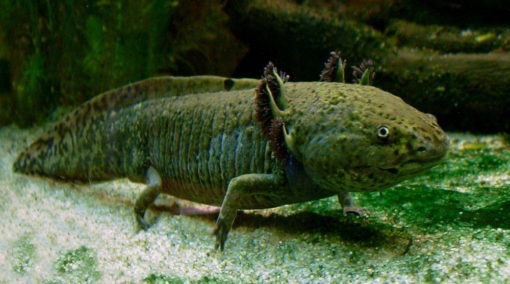 Axolotl: Ingen salamander er bedre enn denne til å regenerere tapt vev som haler, lemmer og organer. Den samme mekanismen har Fortuna Fix utviklet for å regenerere sykt eller skadet nervevev i mennesker.