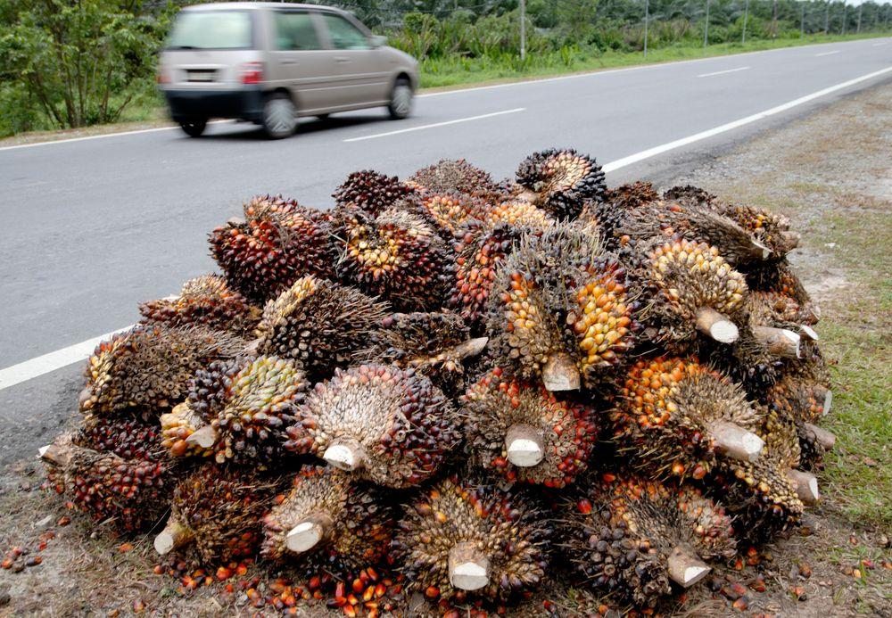 Afrikanske oljepalmefrukter ligger langs veikanten på Borneo. Dette er en råvare som brukes til å produsere en rekke produkter, inkludert biodiesel.