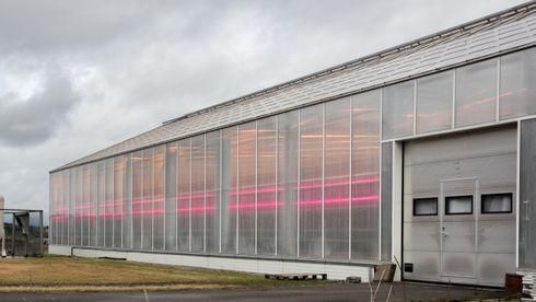 Rosa led-lys skal øke avlingen med 25 prosent