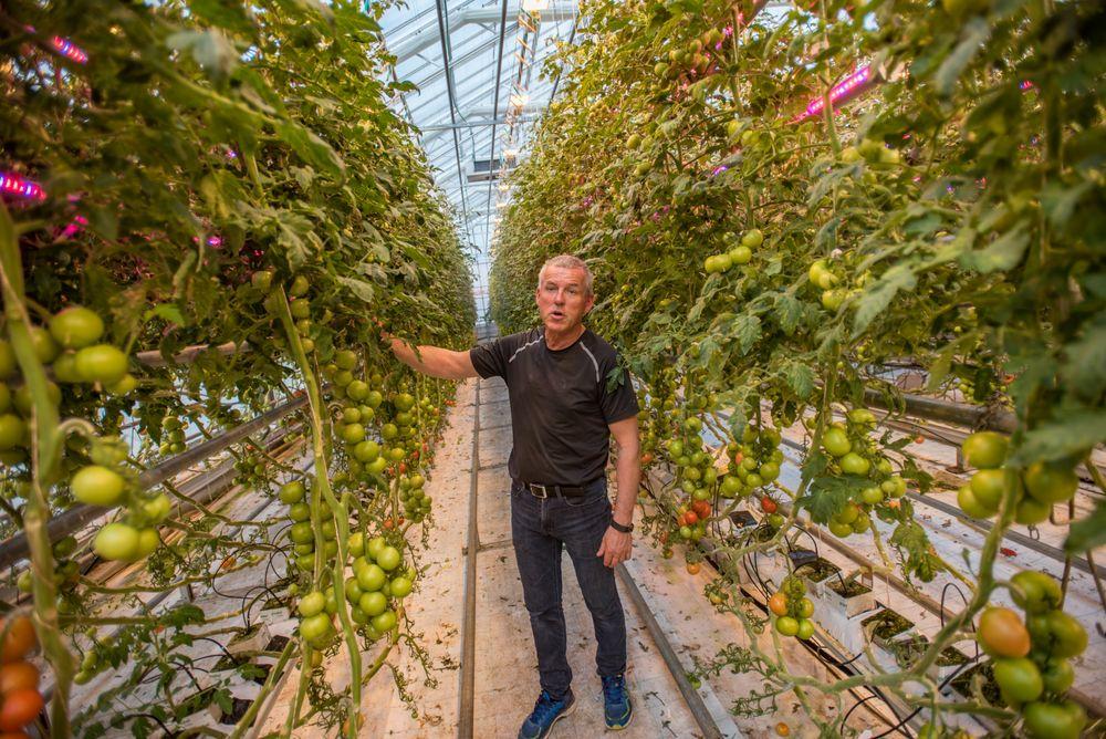 Optimalt vekstlys: Det har kostet rundt 600.000 kroner å installere LED-lys i drivhuset på Mære landbruksskole. Produksjonsleder i gartneriet, Arnar Risan, har tro på rundt 25 prosent mer tomater som følge av belysningen.