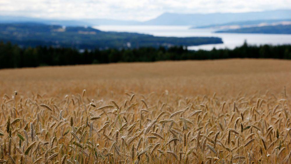 Kornåker ved Brumunddal i Ringsaker på Hedmarken. Mange vil tilbake til naturen og spise ren mat. Moderne landbruk leverer ikke naturlig mat per definisjon. Men det betyr ikke at produktene ikke er sunne.