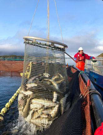 Kombinerer: Fangstbasert akvakultur kombinerer det beste fra villfisknæringa og oppdrettsnæringa for å tilby markedet sprellfersk kvalitetstorsk utenom vintersesongen.
