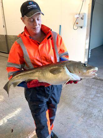 Fersk utenom sesong: En slik torsk får du normalt bare tak i mellom januar- april. Resten av året blir det frossenfisk. Det kan fangstbasert akvakultur gjøre noe med.