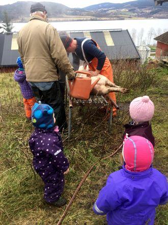 I løpet av et år er barna i Nordby Gardsbarnehage med på de ulike hendelsene som skjer på gården, som våronn, ku-slepp, kalving, slakting og innhøsting.