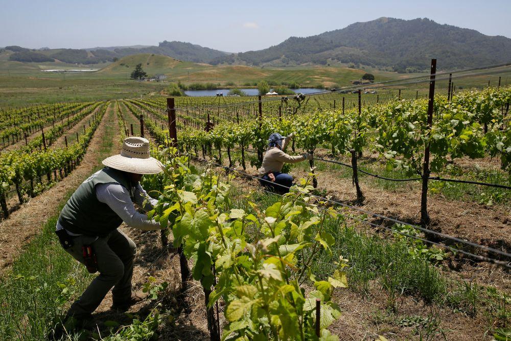 Gårdsarbeidere i virksomhet på en vingård i Petaluma i Nord-California der det tidligere ikke ble dyrket vindruer. Klimaendringene gjør at drueproduksjon flyttes nordover.