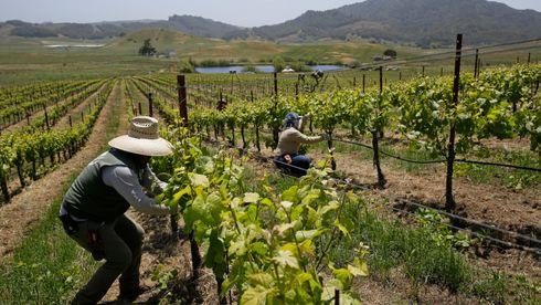Klimaendringer tvinger vinindustrien til å tenke nytt