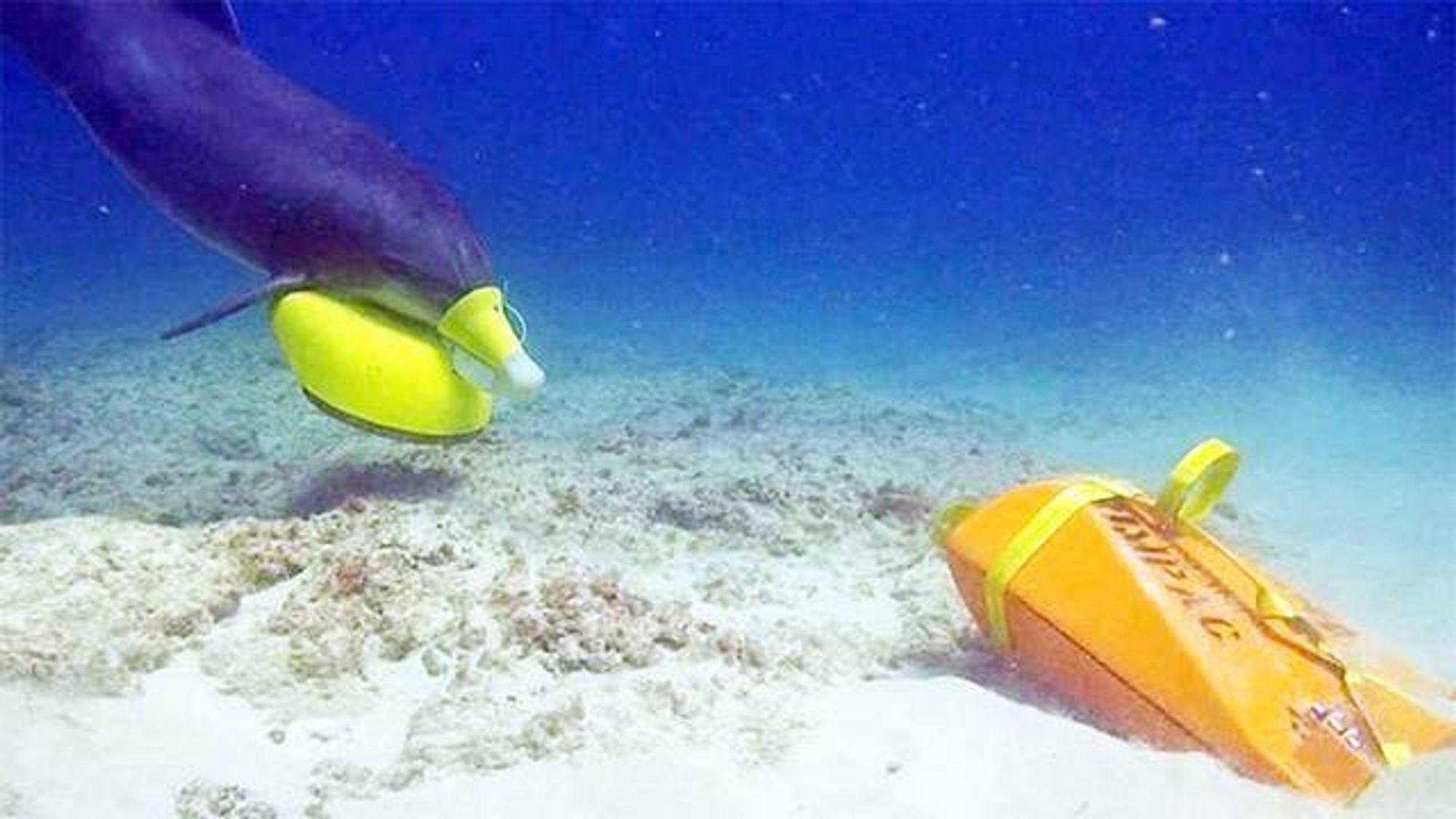 En delfin søker etter en treningsmine. De dykker ned og plasserer en markør ved siden av minen, og så flyter bøyen opp til overflaten, slik at dykkere kan bekrefte trusselen.