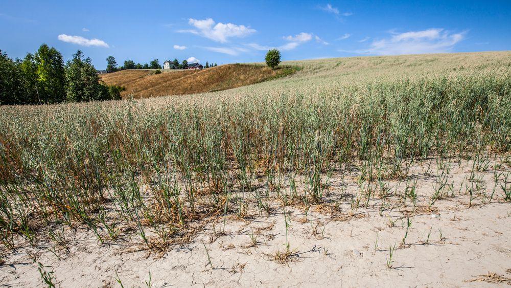 Tørken i sommer rammet blant annet bønder. Dette bilder er tatt på Romerike.