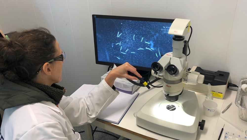 Livet i havet er avhengig av hoppekrepsen. Den er mat for fiskeyngel i et tidlig stadium. Men hoppekrepsen skiller ikke mellom mat og gruvestøv, men spiser ukritisk. Her studerer SINTEF-forsker Julia Farkas fenomenet i mikroskop.