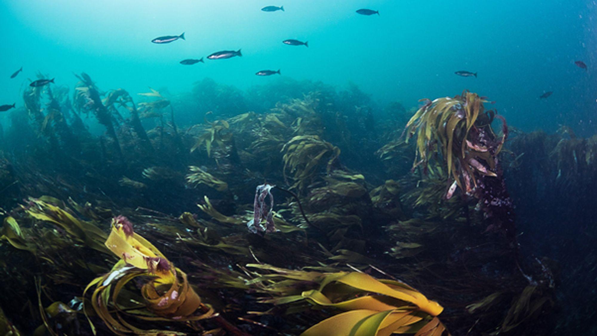 Forskere kartlegger tareskogen langs kysten for å finne ut hvor mye tare som fins. Foto: Jonas Thormar/Havforskningsinstituttet.