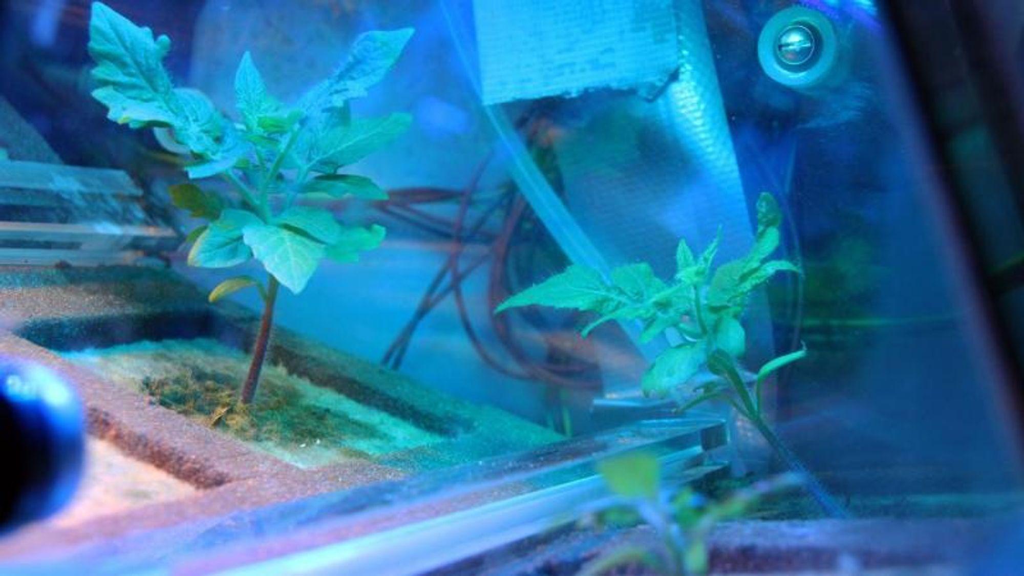 Dvergtomater blir blant de første plantene som spirer i rommet.