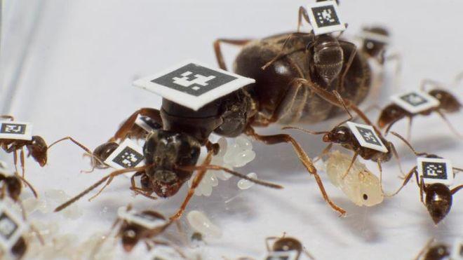 Forskere QR-kodet maur, og fant ut at de tar «sykedager» for å beskytte maurtua