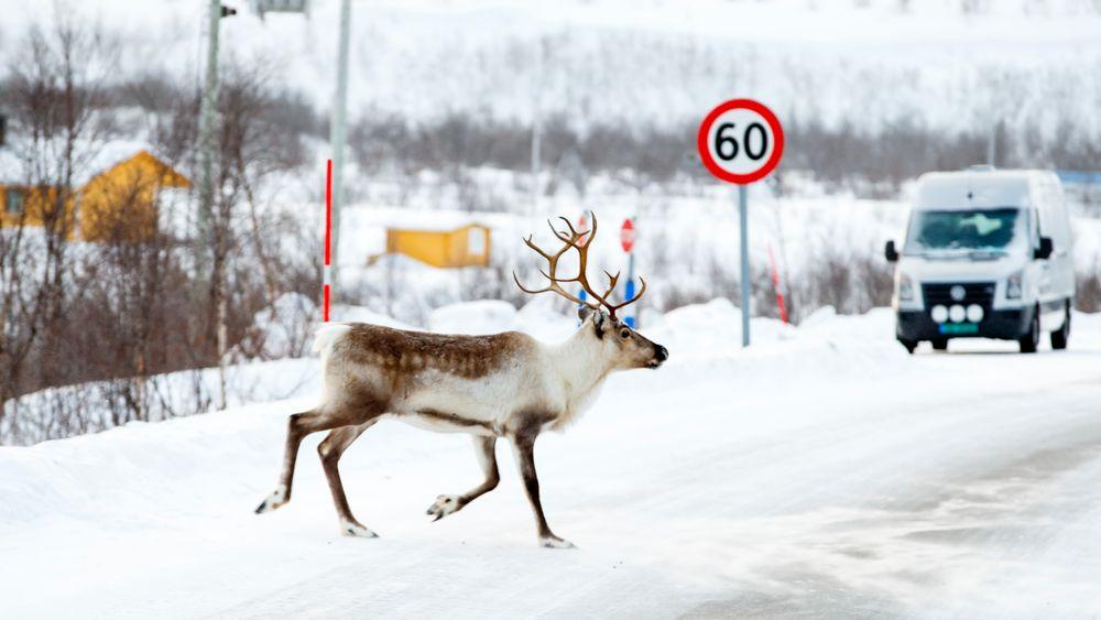 Et reinsdyr krysser riksvei 93 mellom Alta og Karasjok. Årlig dør mange reinsdyr i trafikken, men et forskningsprosjekt ved Umeå universitet i Sverige arbeider med et varslingssystem for å få antallet ned.