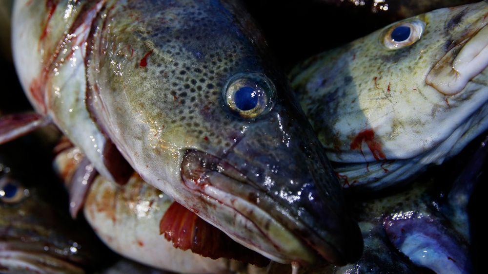 Fra 2007 til 2015 økte torskebestanden i Barentshavet og Atlanterhavet med henholdsvis 71 prosent og 104 prosent.