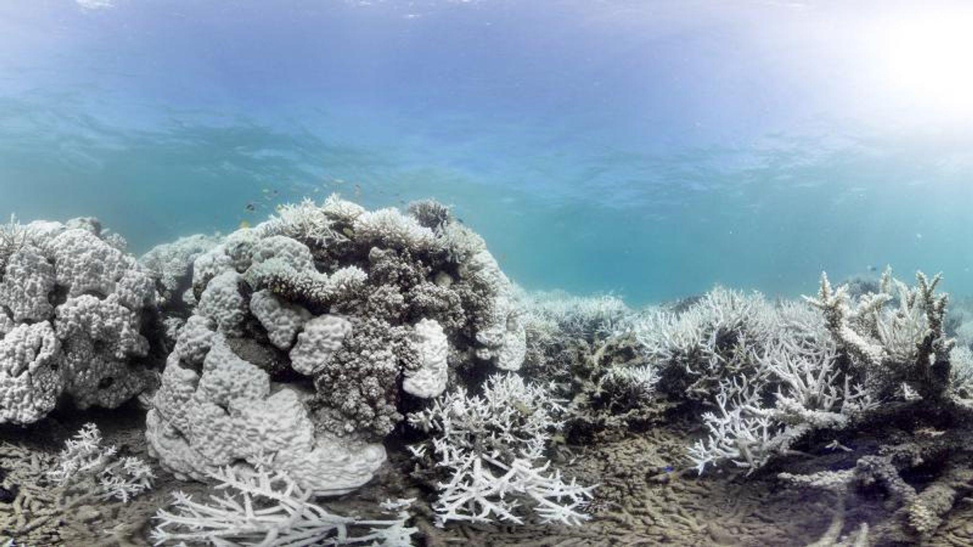 Korallrevet ved Ny-Caledonia utenfor Australias vestkyst har mistet fargene sine, men nå forsøker man med forskjellige metoder å gi de bleke korallene fargene tilbake.