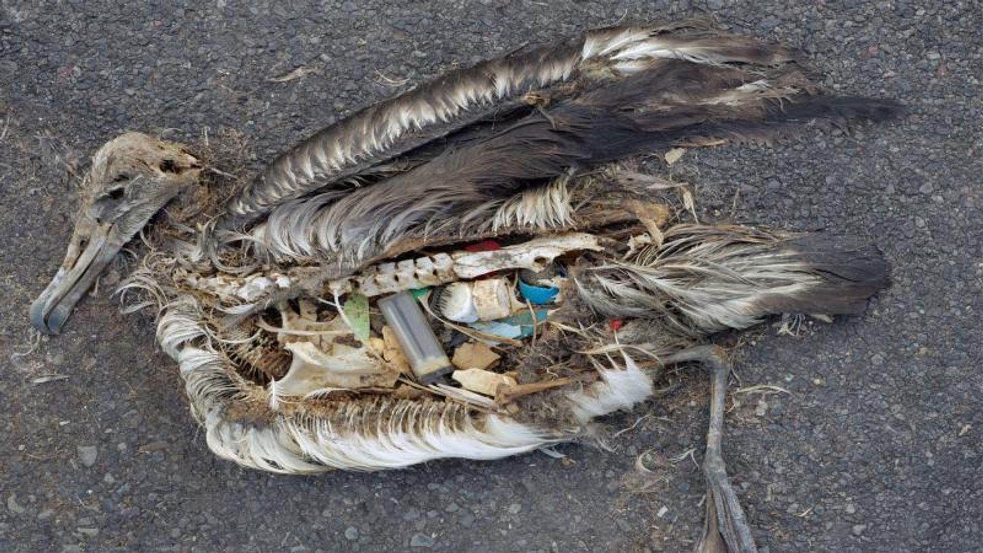 Hver tredje sjøfugl har spist plast, ifølge en australsk undersøkelse som ble presentert i mars i år.