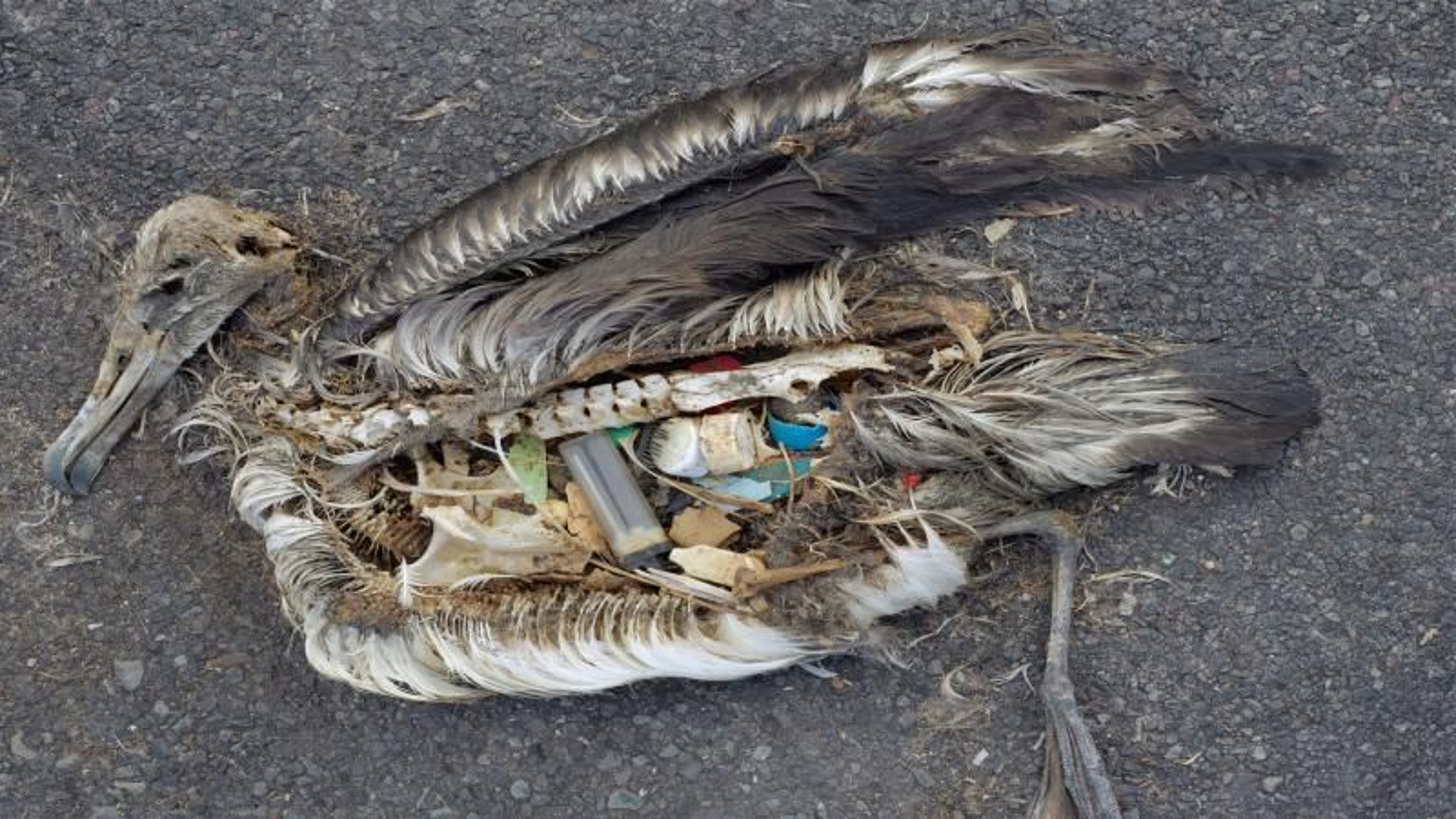 En australsk forskergruppe har undersøkt 1733 fuglekadavere.