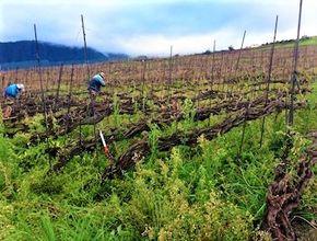 Vinbønder og vinranker