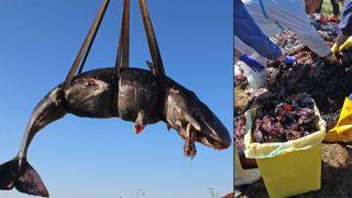 WWF advarer om plast i Middelhavet etter hvaldød: Hadde 22 kilo plast i magen