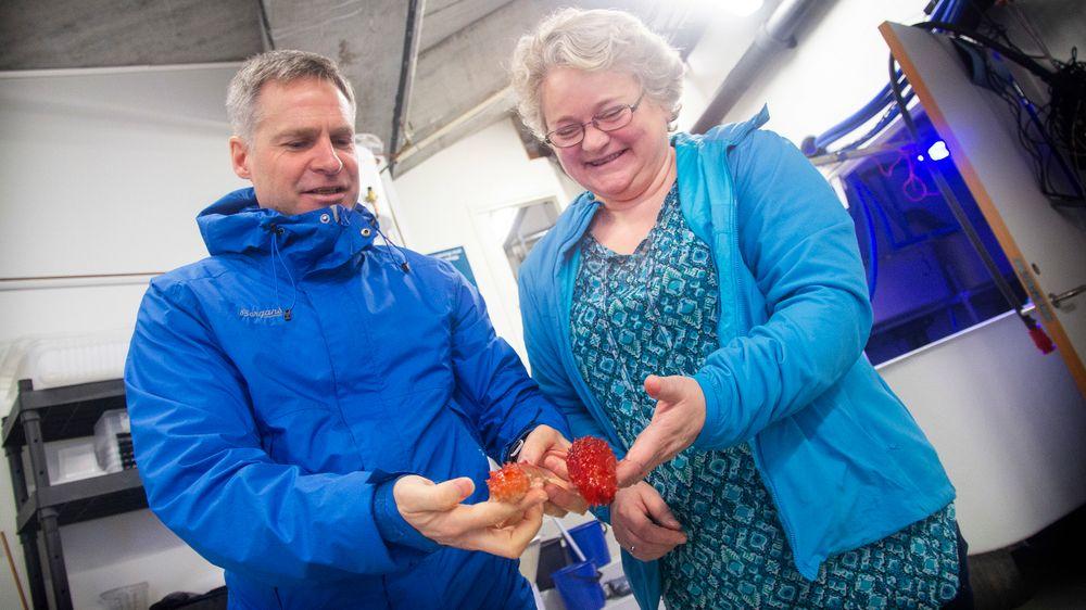 «Team sjøpølse»: Ingebrigt Bjørkevoll og Margareth Kjerstad forsker på sjøpølseoppdrett.