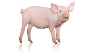 Sauer og griser kan bli fremtidens organdonorer