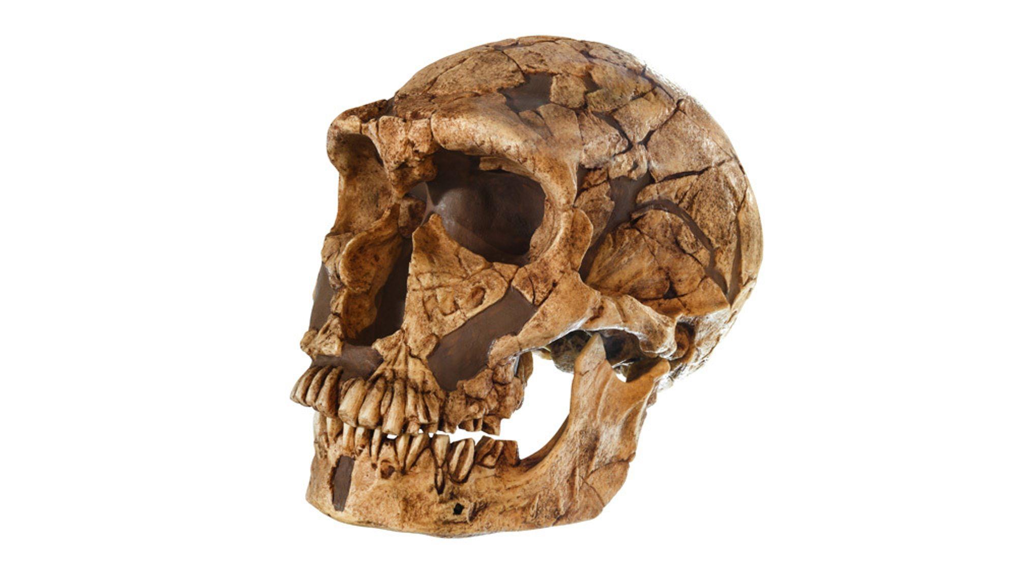 En hodeskalle tilhørende menneskearten Homo neanderthalensis, 50.000 år gammel. Oppdaget i 1909 i La Ferrassie, Frankrike.