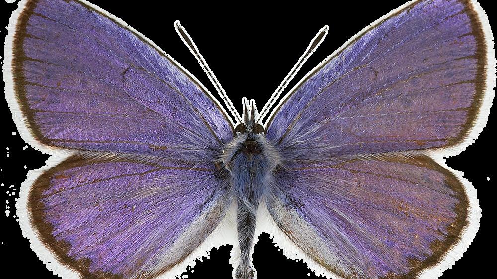Lakrismjeltblåvinge, en av flere sommerfugler som er kritisk truet i Norge.