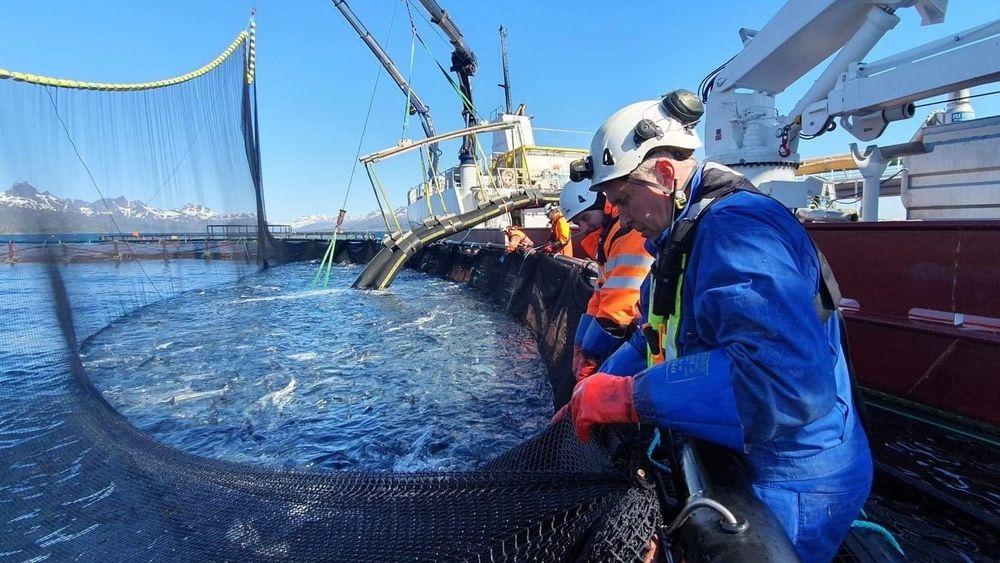 Nordlaks startet torsdag å laste 350.000 fisk på anlegget Kalvehodet i Øksfjorden i Lofoten over på brønnbåt for å unngå alger.