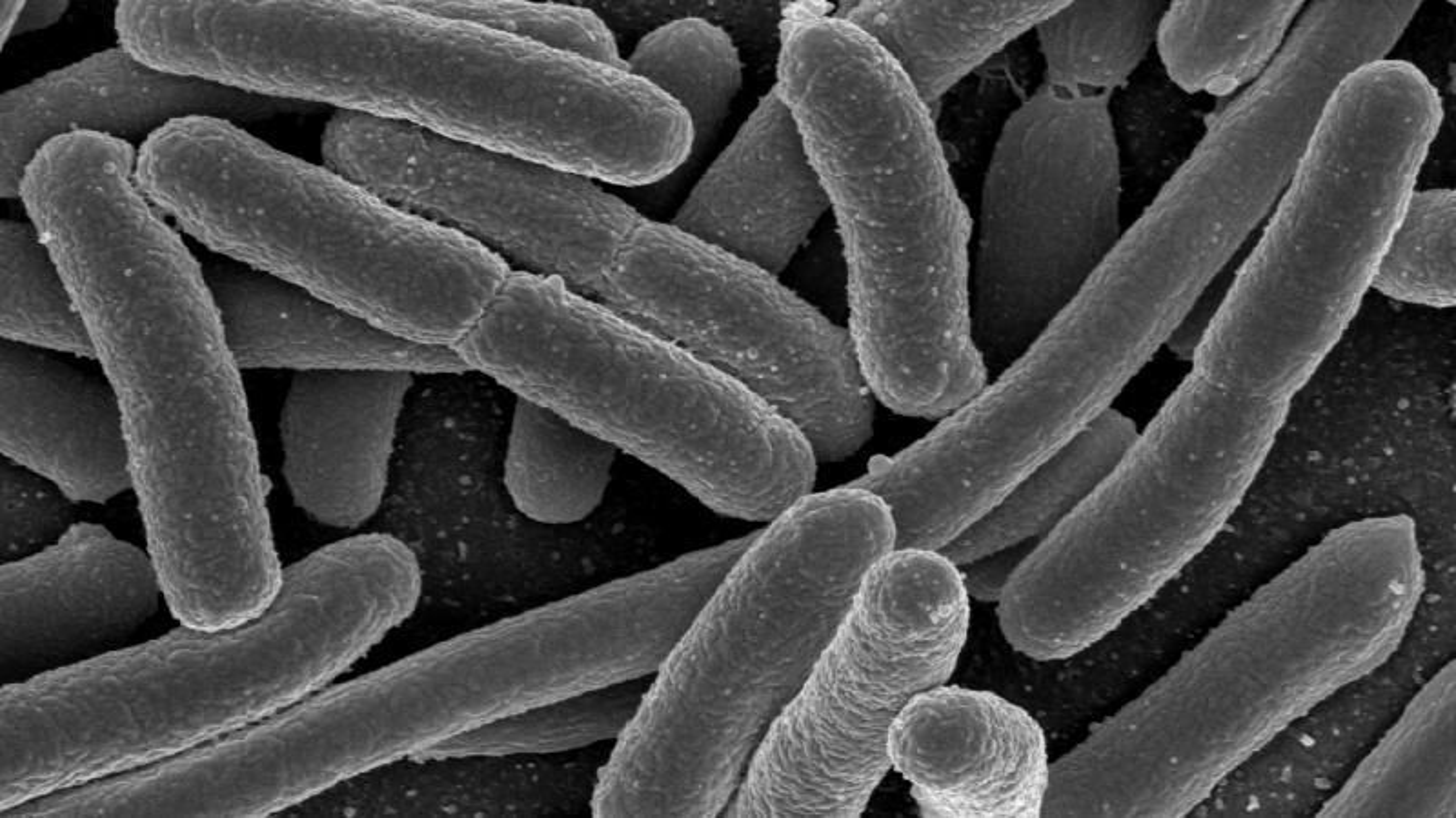 En forskergruppe fra Cambridge har skapt en kunstig versjon av e. coli-bakterien.