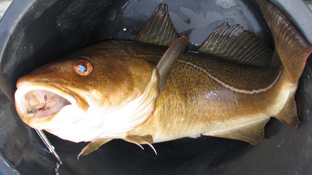 Fiskere som mot formodning får en torsk på kroken, må fra lørdag 15. juni slippe den ut igjen dersom den er fremdeles er levedyktig